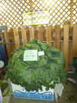 World Record cabbage!