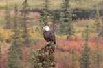America's National Bird